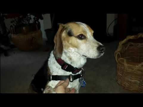 "BAXTER THE BEAGLE- ""BOOGIE WOOGIE BEAGLE"""