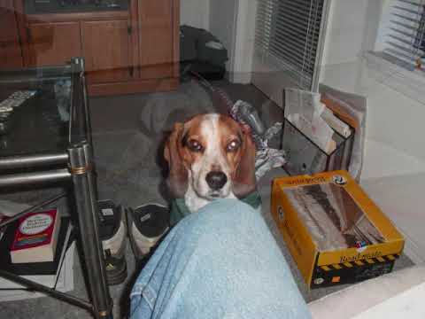 """BAXTER THE BEAGLE -""""MY DEAR FRIEND"""" (MUSIC IS """"PIPELINE"""" BY THE CHANTAYS)"""