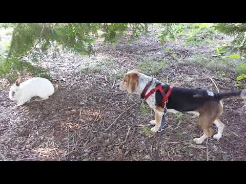 BAXTER THE BEAGLE SEES A BIG RABBIT- Rest in Peace Sweet Baxter(Jan. 13, 2005- Jan. 20, 2021)