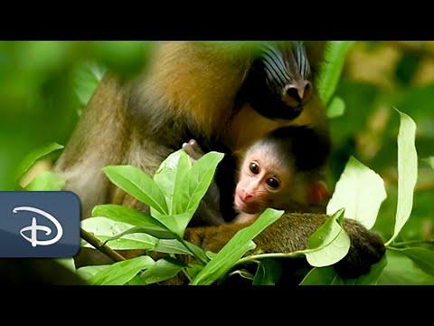 Disney's Animal Kingdom Welcomes A New Baby Mandrill | Walt Disney World