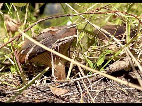Beginner Mushroom Hunting - Pine Spike - Chroogomphus rutilus & C. vinicolor