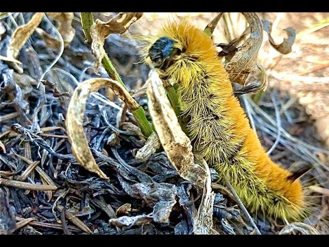 Acronicta insita - Large Gray Dagger - Alder Dagger Moth