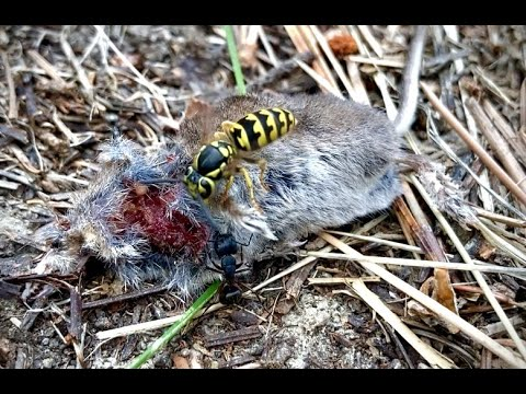 """""""How Much Have We Been Looking Past?"""" - Hornets and ants compete for mouse carcass"""