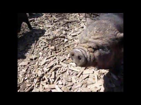 Die Schweine von Ljubljana - Lee Jay Cop